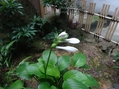 ギボウシ(タマノカンザシ)