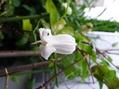 壺形クレマチス 開花中