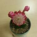 初めて見た緋牡丹の花