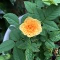 変化ミニ薔薇