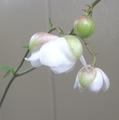 レンゲショウマが咲きまして