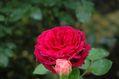 今朝のバラ ①