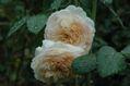 今朝のバラ ④