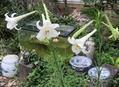 タカサゴユリ乱立の庭