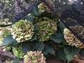 西洋アジサイの花の夏越し