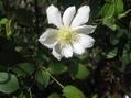 薔薇(ちはやぶる)・クレマチス2種