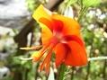 ゴジカの1番花が咲いた~♪