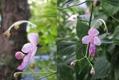 カリガネソウ、ピンクも咲きました[i:237]