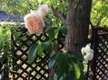 野生化したバラ。