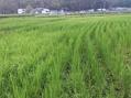 田んぼの草刈り