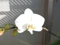 胡蝶蘭 第一花開花