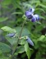 クレマチス チャイナパープル開花