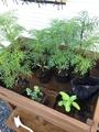 種まきした矮性コスモスが定植を待っているよ〜