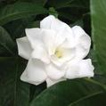 夏の香り花木「クチナシ」‼️
