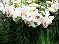 カサブランカの花束を~💐