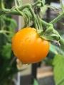 ミニトマト3種