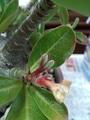 種の鞘に成長する?アデニウム