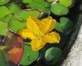 アサザ開花