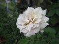 雨が多い...薔薇・向日葵