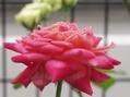 地元の薔薇