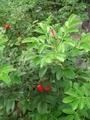 ハマナス2番花もうじき咲きます