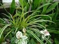 斑入ヤブランの花