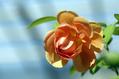 バラの季節再び