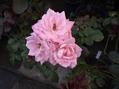 ピンクのバラ!
