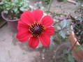 ガーデンダリア2番花開花