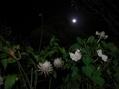 月下美人やっと咲きました