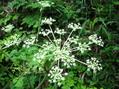長湯温泉の野の花①