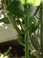 ブンタンにいるアゲハのイモムシ観察