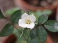 薔薇の実生苗の、二度目の開花