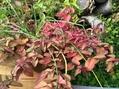 オレガノの紅葉