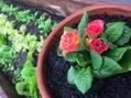 プリムラと野菜畑