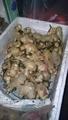 ショウガの収穫