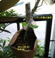 レモンの接ぎ木のその後(9月22日)