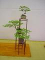 盆栽会 観てきました。