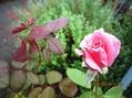 秋雨を浴びてしっとり咲き返る
