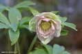 クリスマスローズの交配種(H.×ヒブリダス)