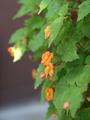 ムカゴ蒔きのベゴニア・サザランディー