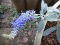 今日はブルーの花で・・・