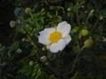 ベゴニア 白のシュウメイギク 日高ミセバヤ
