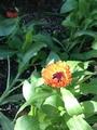 キンセンカが咲いてくれました!