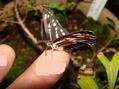 ペンステモン ルピコラにコミスジ蝶が