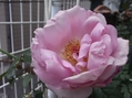 バラが咲きました