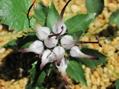 キキョウ科の花