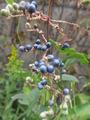 ヤブミョウガの実が沢山できています