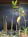 続・OKINAWAの新入り❕プラス在住の熱帯植物たち🍍