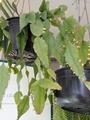 リプサリス 開花